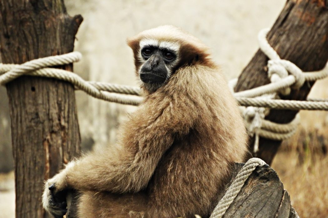 A monkey sitting on a wooden surface Description automatically generated